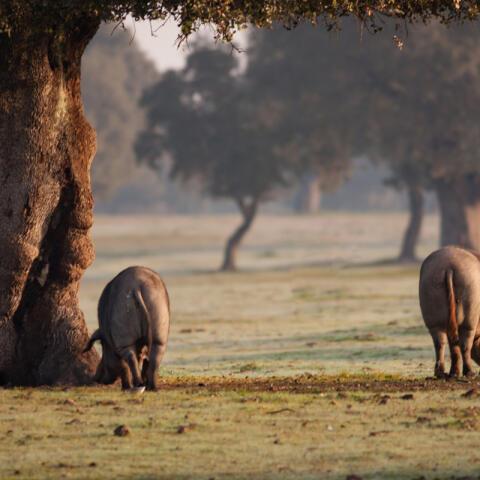 Cerdología: ¿qué misterios esconde la carne de cerdo?