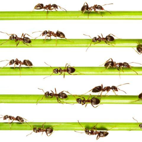 ¿Por qué las hormigas no tienen atascos?