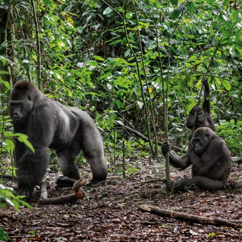 Territorio gorila
