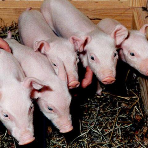 Clonación de animales en nombre de la ciencia y el negocio